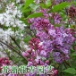 紫丁香树苗批发绿化苗木独杆丛生紫丁香花树庭院观赏花卉量大从优