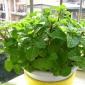 兰香草种子 留兰香薄荷种子 多年生香草花卉 可食用绿薄荷 发芽高