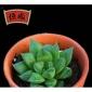 宝草玉露多肉植物 绿植花卉 精品多肉 3-4cm包邮 裸根发货