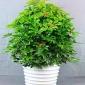 大型植物价格,发财树盆栽 客厅四季常青植物 开业大型绿植,大型植物
