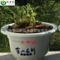 [别山本草]霍山石斛苗米斛苗3年20株石斛盆景盆栽室内植物花卉